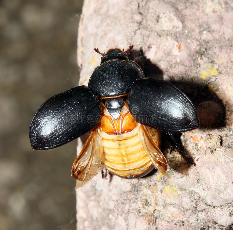 Free Scarab Beatle Royalty Free Stock Images - 14438419
