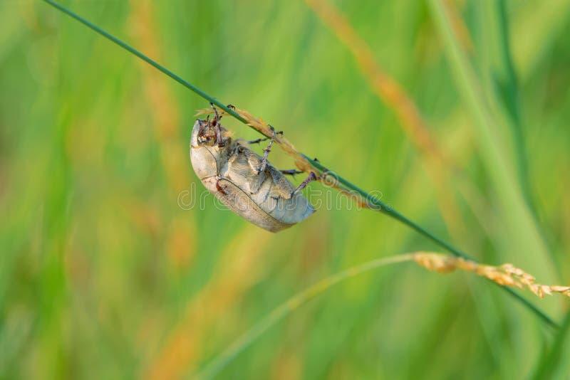 Scarab beetle royalty free stock image