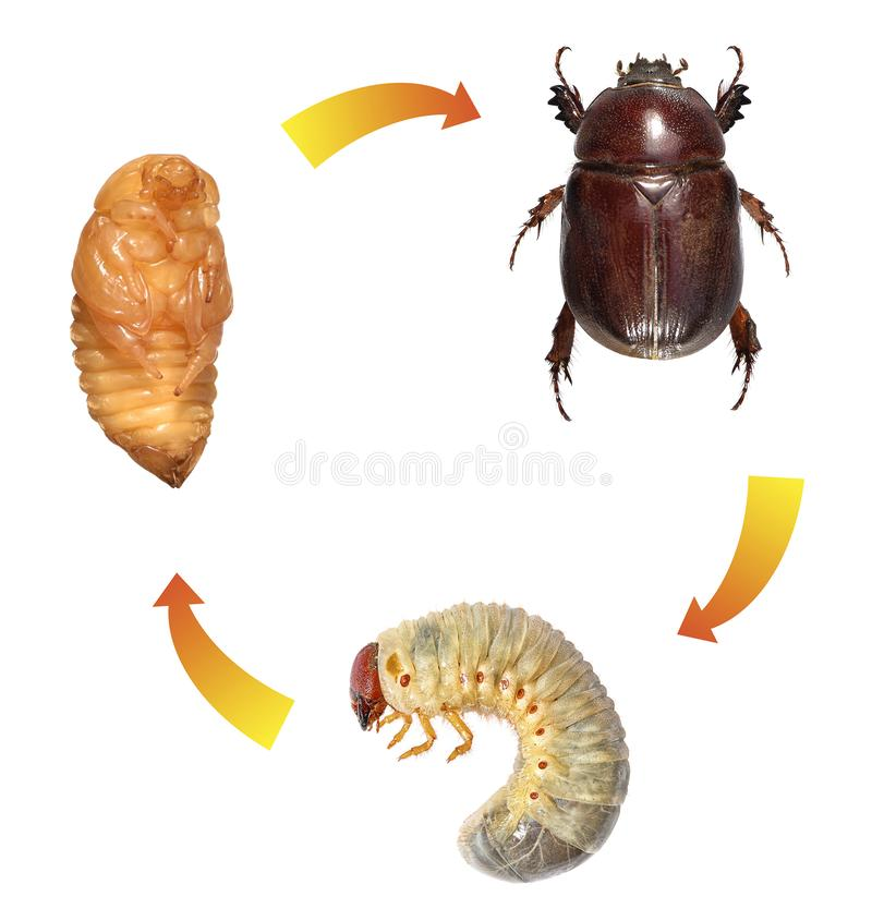 Scarab beetle. Life cycle royalty free stock photos