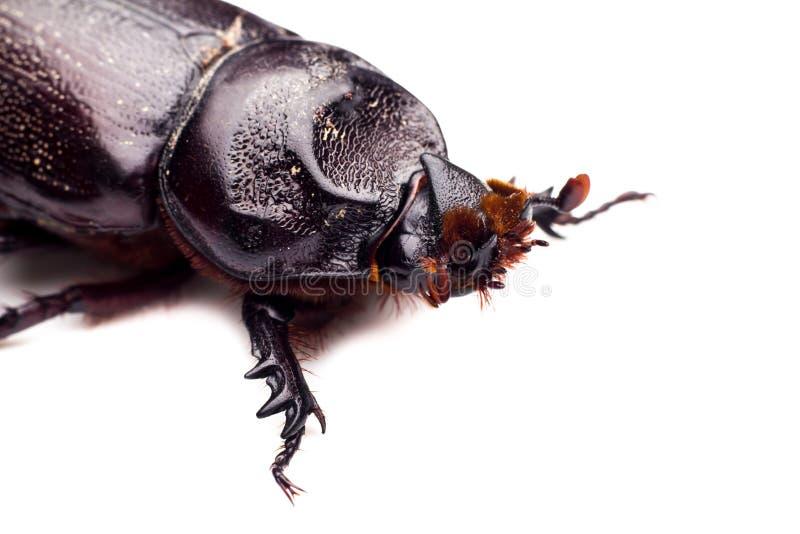 Scarab beetle , Horn beetle (Dynastinae) on white background. Macro Beetle,Rhinoceros beetle, Rhino beetle, Hercules beetle, Unicorn beetle, Horn beetle ( royalty free stock photos