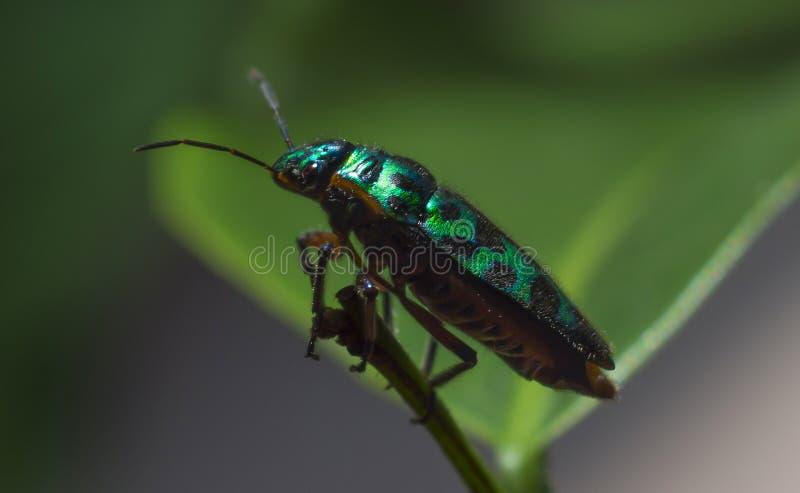 Scarab beetle stock image