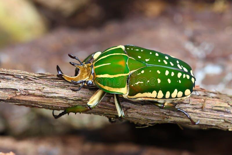 Scarabaeid Käfer Chelorrhina polyphemus stockbilder