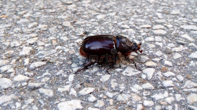 Scarabaeidae стоковое фото rf