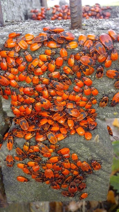 scarabei fotografia stock libera da diritti