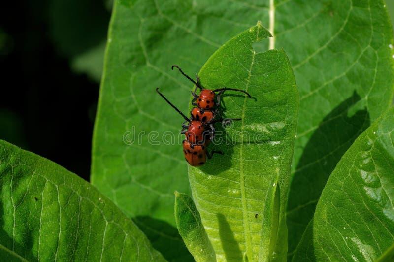 Scarabei rossi del milkweed che mangiano milkweed immagine stock libera da diritti