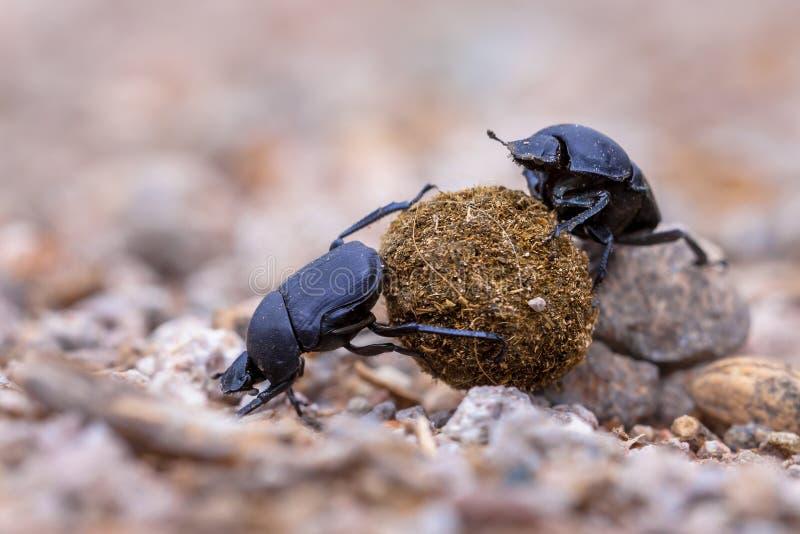 scarabei stercorari di lavoro duri che affrontano i problemi fotografia stock