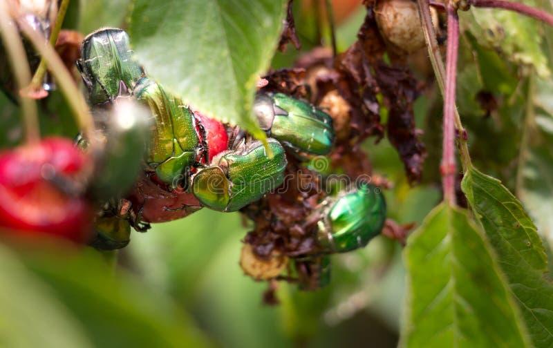 Scarabei verdi della frutta che mangiano le ciliege fotografia stock