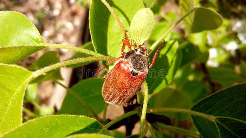 scarabeo fotografie stock libere da diritti
