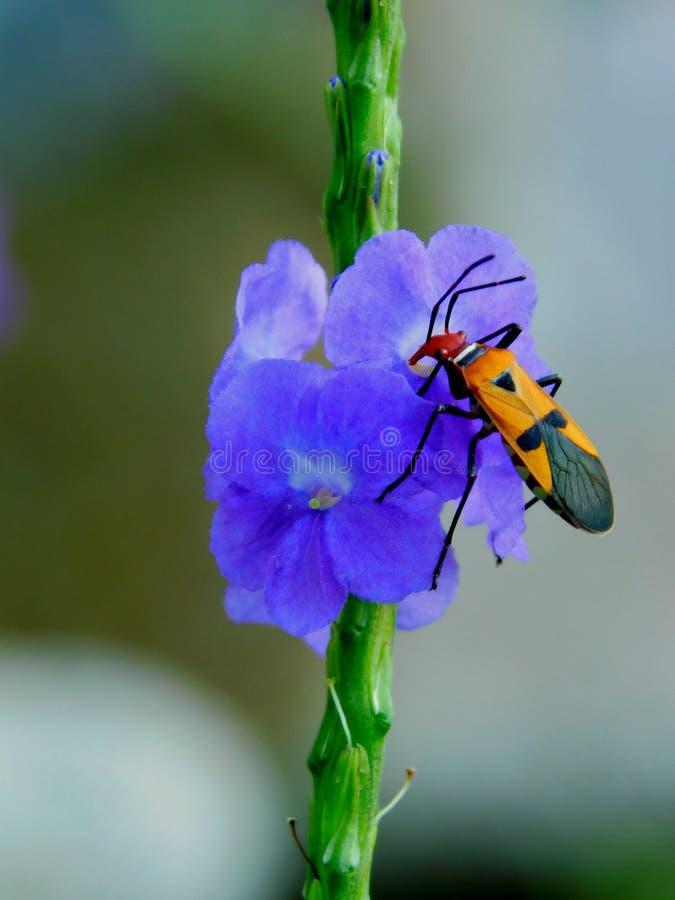 scarabeo fotografia stock