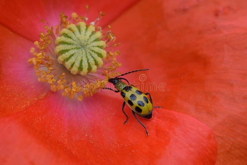 Scarabeo del cetriolo in Poppy Flower arancio 02 fotografia stock libera da diritti