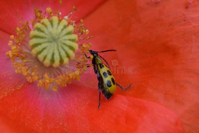 Scarabeo del cetriolo in Poppy Flower arancio 03 fotografia stock