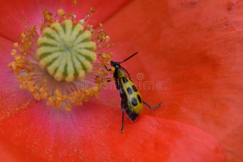 Scarabeo del cetriolo in Poppy Flower arancio 07 immagini stock libere da diritti