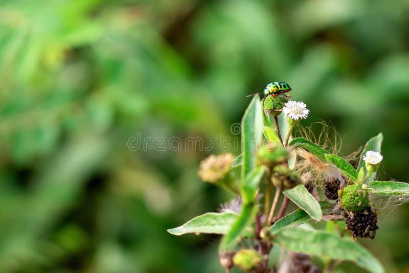 Scarabeo del gioiello sul foglio in natura verde fotografia stock