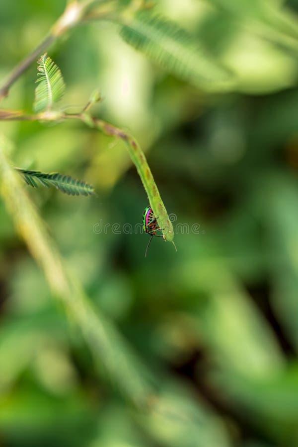 Scarabeo del gioiello sul foglio in natura verde fotografie stock
