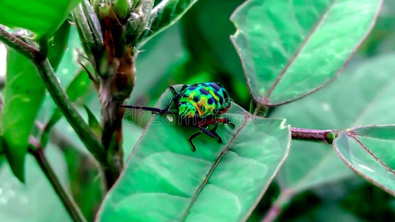 Scarabeo del gioiello sul foglio in natura verde immagini stock