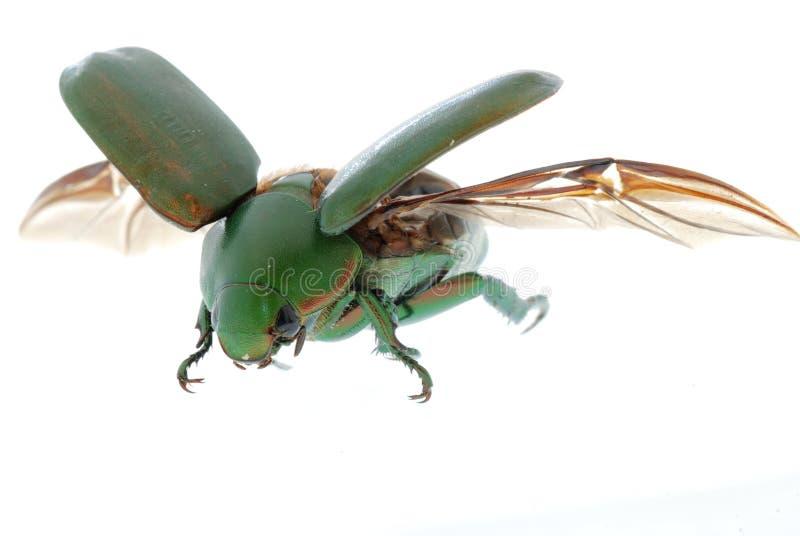 Scarabeo dell'insetto di volo fotografie stock libere da diritti