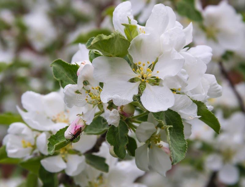 Scarabeo della Scarabeo-mucca texana sui fiori di Apple Sorgente Di melo in fioritura immagini stock
