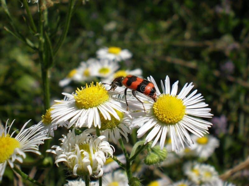 Scarabeo di ape su una pratolina immagine stock