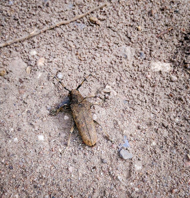 Scarabeo di Barbel Campestris di Trichoferus immagine stock