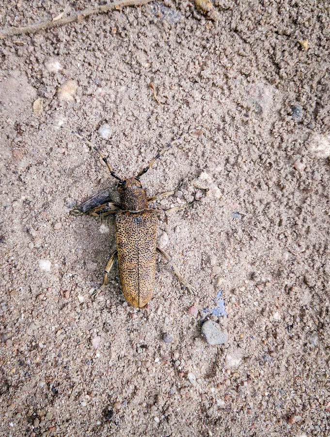 Scarabeo di Barbel Campestris di Trichoferus fotografia stock
