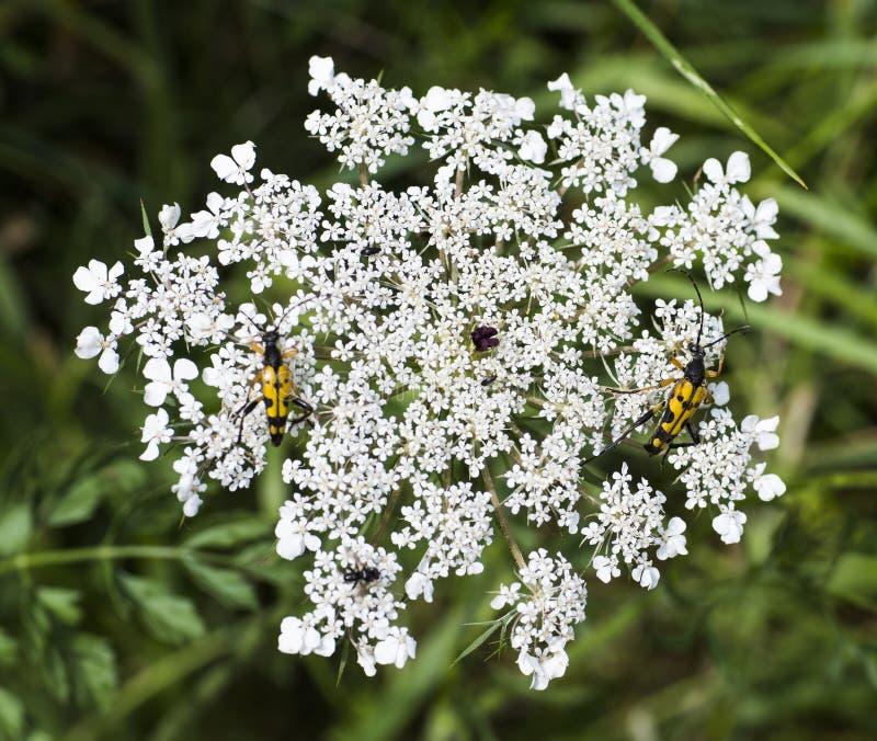 Scarabeo falso della vespa di maculata di Strangalia fotografia stock libera da diritti