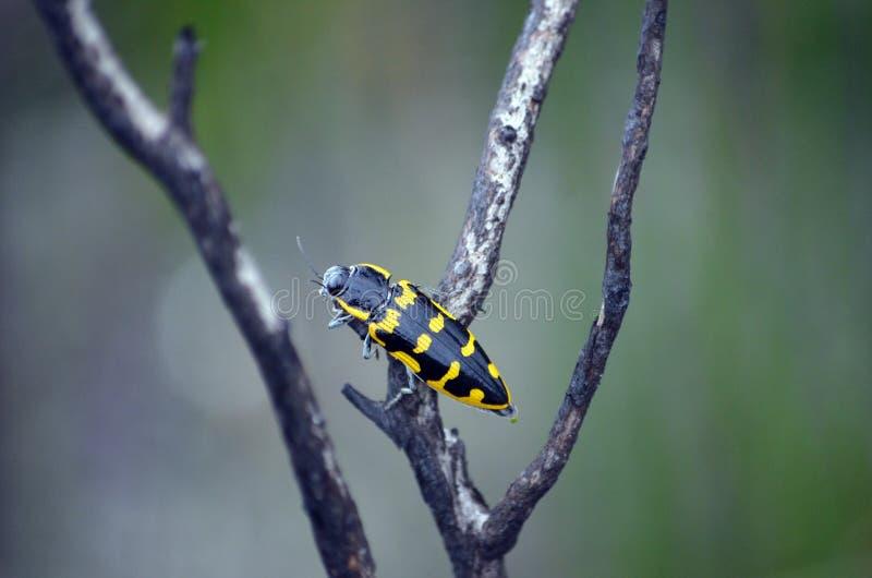 Scarabeo indigeno australiano del gioiello di Banksia, imperialis di Cyrioides immagine stock libera da diritti