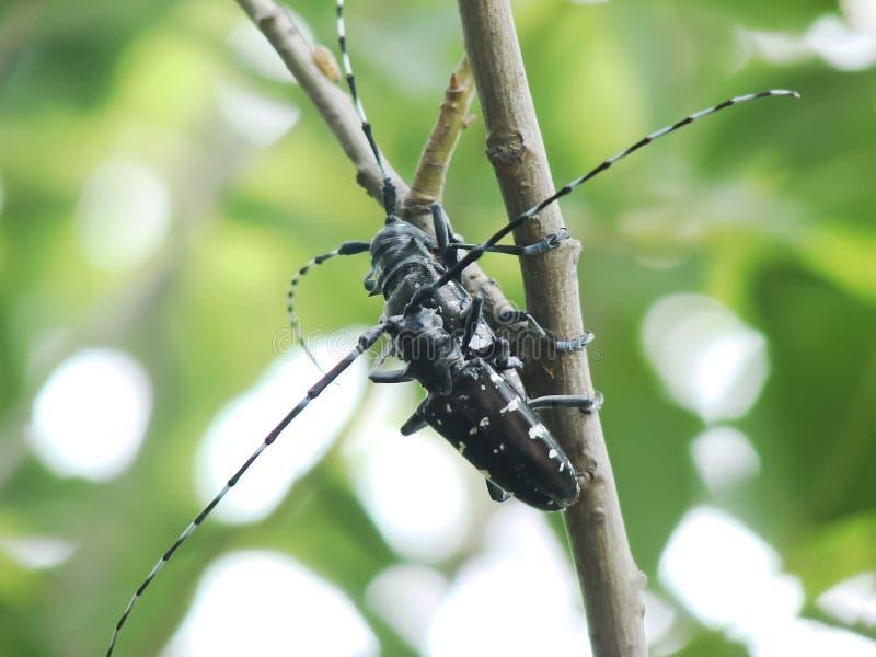 scarabeo Lungo-cornuto fotografia stock