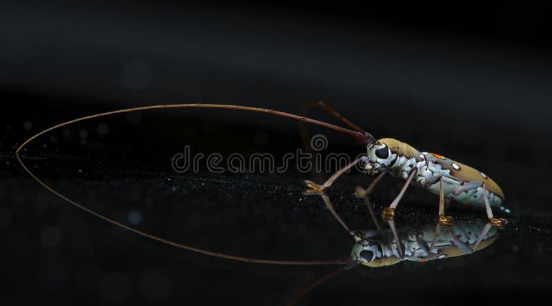 Scarabeo, scarabeo bello, scarabeo della Tailandia fotografie stock