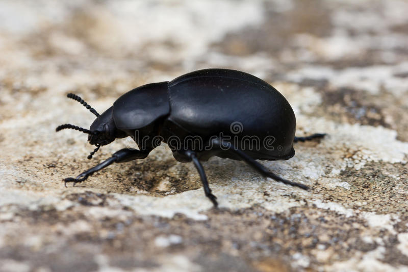 Scarabeo stercorario. Scarabaeidae immagini stock libere da diritti