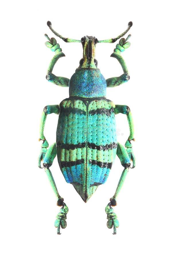 Scarabeo tropicale (Curculionoidae). immagini stock libere da diritti