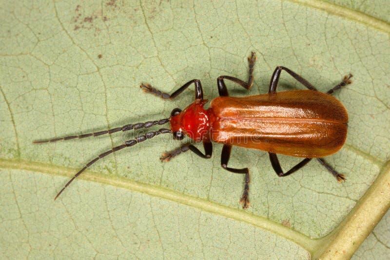 Scarabeo tropicale rosso su una foglia dell'albero immagini stock