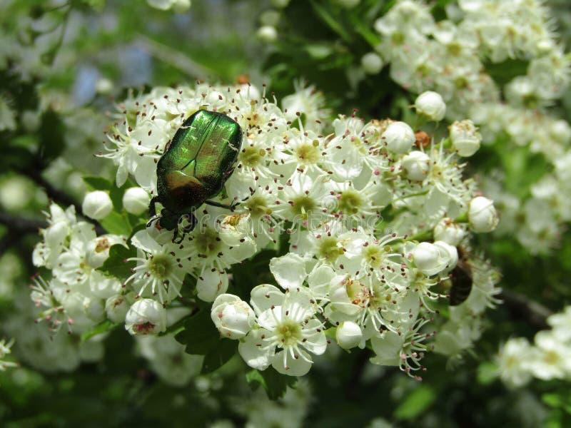 Scarabeo verde della lucciola sui fiori bianchi immagine stock