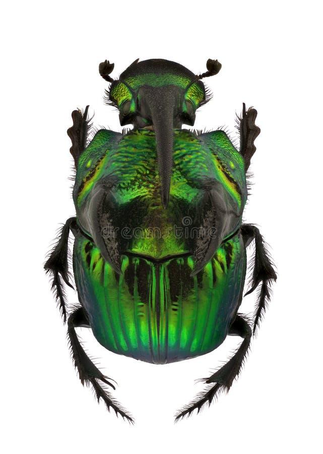 Scarabs do arco-íris - demónio de Phanaeus ilustração royalty free