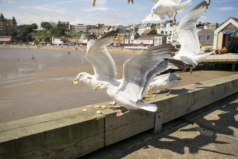 Scarborough Seagulls, North Yorkshire, Anglia, Zjednoczone Królestwo obrazy stock