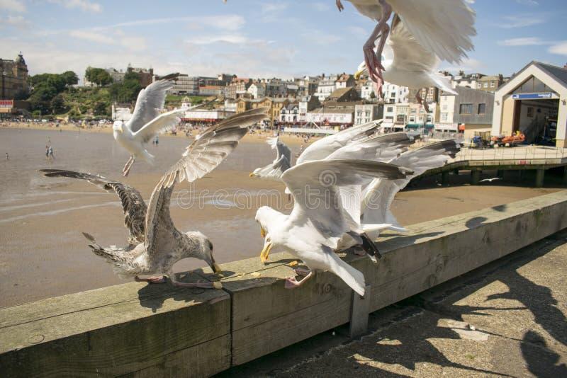 Scarboroughzeemeeuwen die, North Yorkshire, Engeland, het Verenigd Koninkrijk voeden stock fotografie