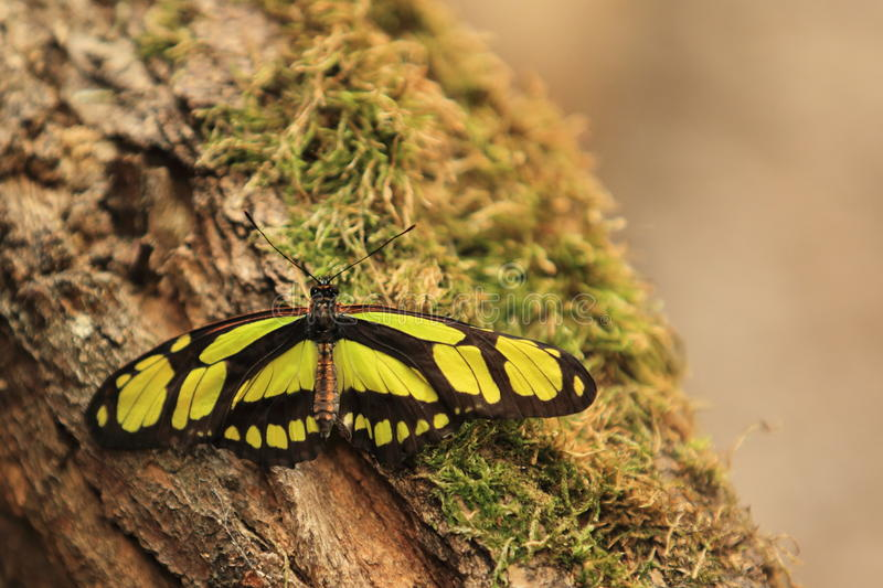 Download Scarce bamboo page stock image. Image of scarce, butterfly - 25262161