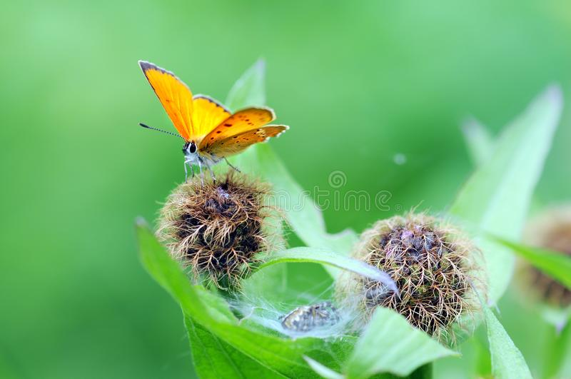 Scarce copper Lycaena virgaureae butterfly stock images