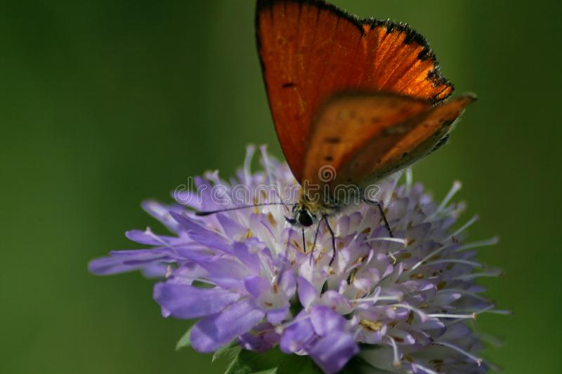 Scarce copper Lycaena virgaureae 01 stock photography