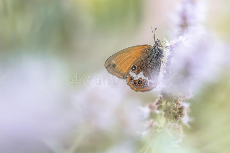 Scarce Pearly Heath. Butterfly (Coenonympha arcania) eating nectar from flowers in blurred fore- and background stock images