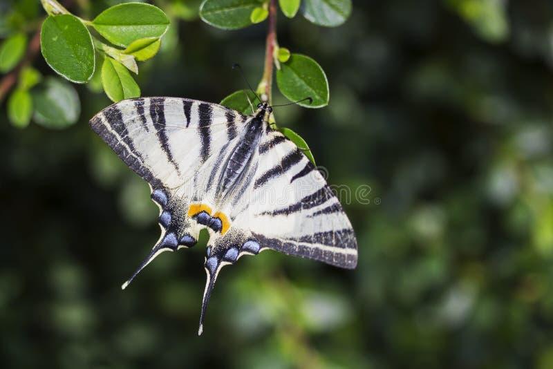 Scarce swallowtail, beautiful butterfly on flower. Scarce swallowtail, Iphiclides podalirius. Beautiful butterfly on flowers. Amazing macro photo. Colorful stock image