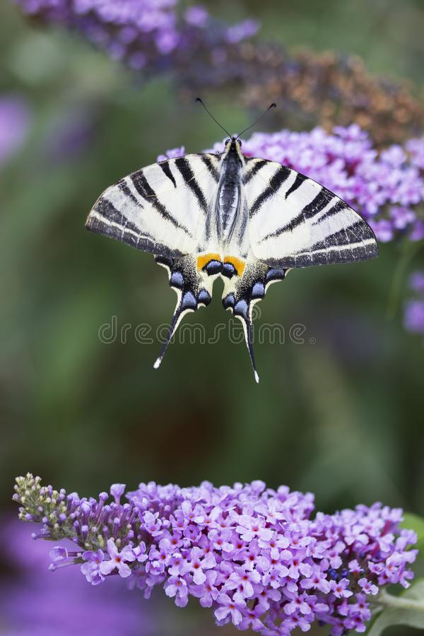 Scarce swallowtail, beautiful butterfly on flower. Scarce swallowtail, Iphiclides podalirius. Beautiful butterfly on flowers. Amazing macro photo. Colorful stock images