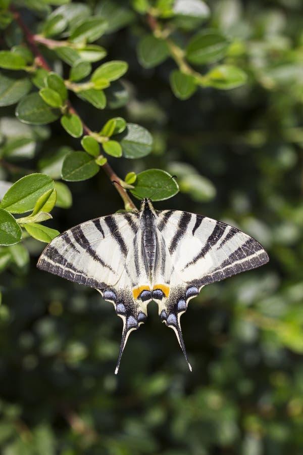 Scarce swallowtail, beautiful butterfly on flower. Scarce swallowtail, Iphiclides podalirius. Beautiful butterfly on flowers. Amazing macro photo. Colorful stock photo