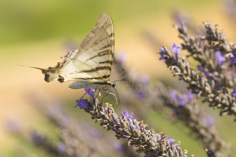 Scarce swallowtail butterfly Iphiclides podalirius butterfly o stock images
