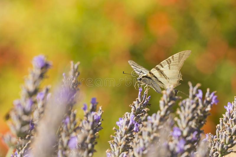 Scarce swallowtail butterfly Iphiclides podalirius butterfly o royalty free stock photo
