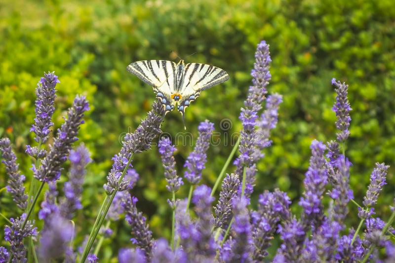 Scarce swallowtail butterfly Iphiclides podalirius butterfly on purple lavender flowers royalty free stock photography
