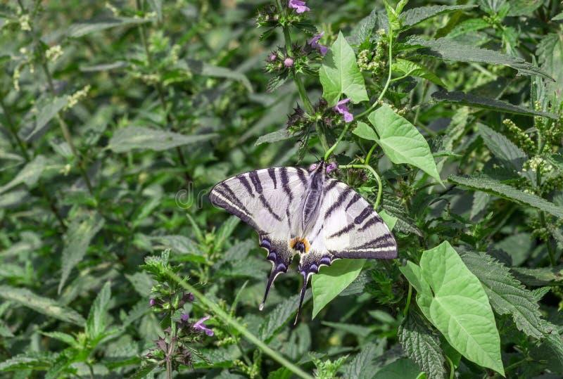Scarce swallowtail butterfly Iphiclides podalirius in garden royalty free stock photos