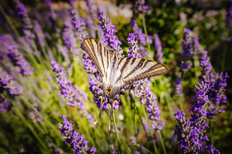 Scarce swallowtail butterfly (Iphiclides podalirius). Sitting on purple flowers royalty free stock photography