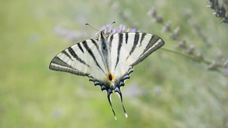 Scarce swallowtail butterfly. Iphiclides podalirius, on a lavender flower stock images