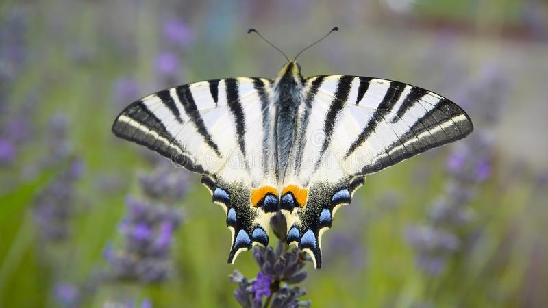 Scarce swallowtail butterfly. The Scarce swallowtail butterfly, Iphiclides podalirius, on lavender flower royalty free stock images