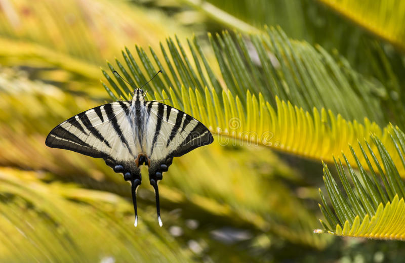 Scarce swallowtail butterfly stock photo